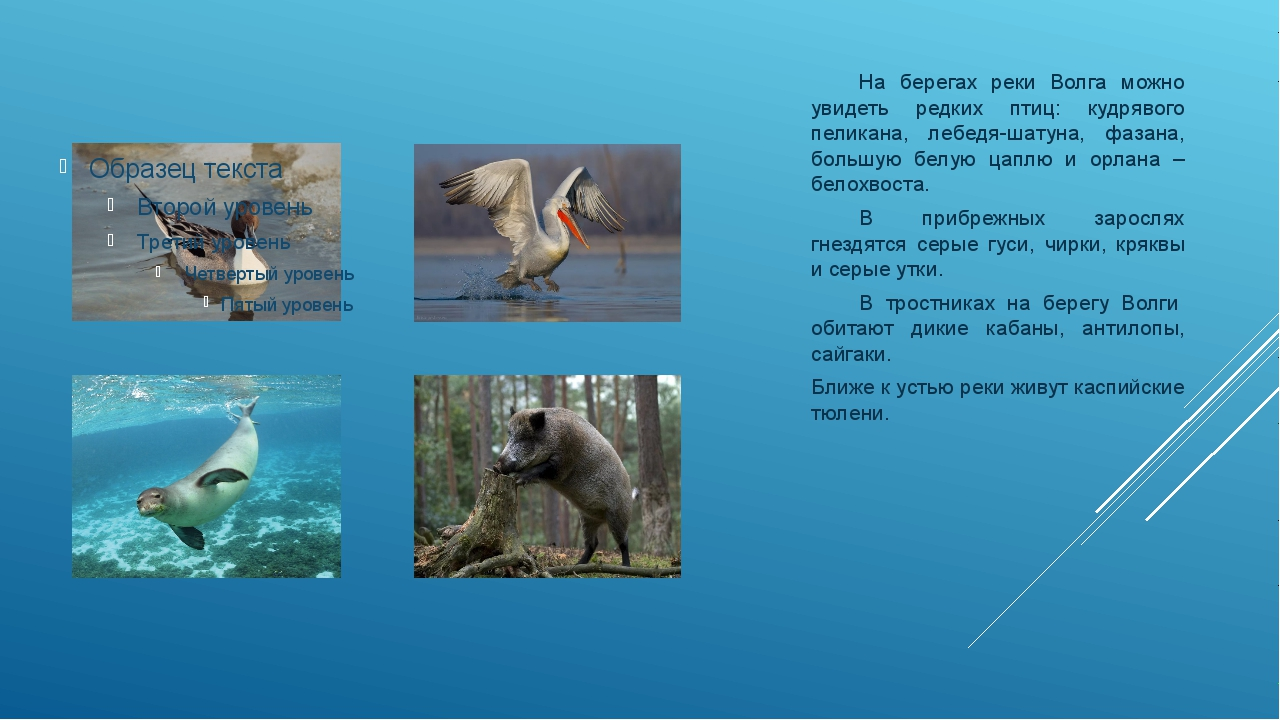 На берегах реки Волга можно увидеть редких птиц: кудрявого пеликана, лебедя-...