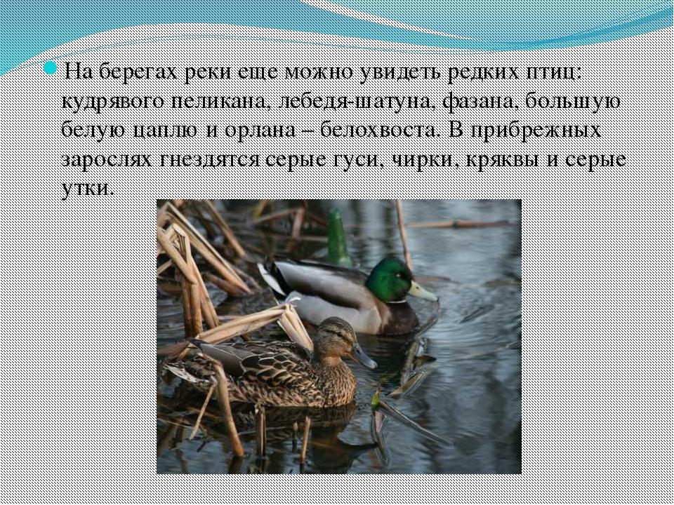 На берегах реки еще можно увидеть редких птиц: кудрявого пеликана, лебедя-шат...