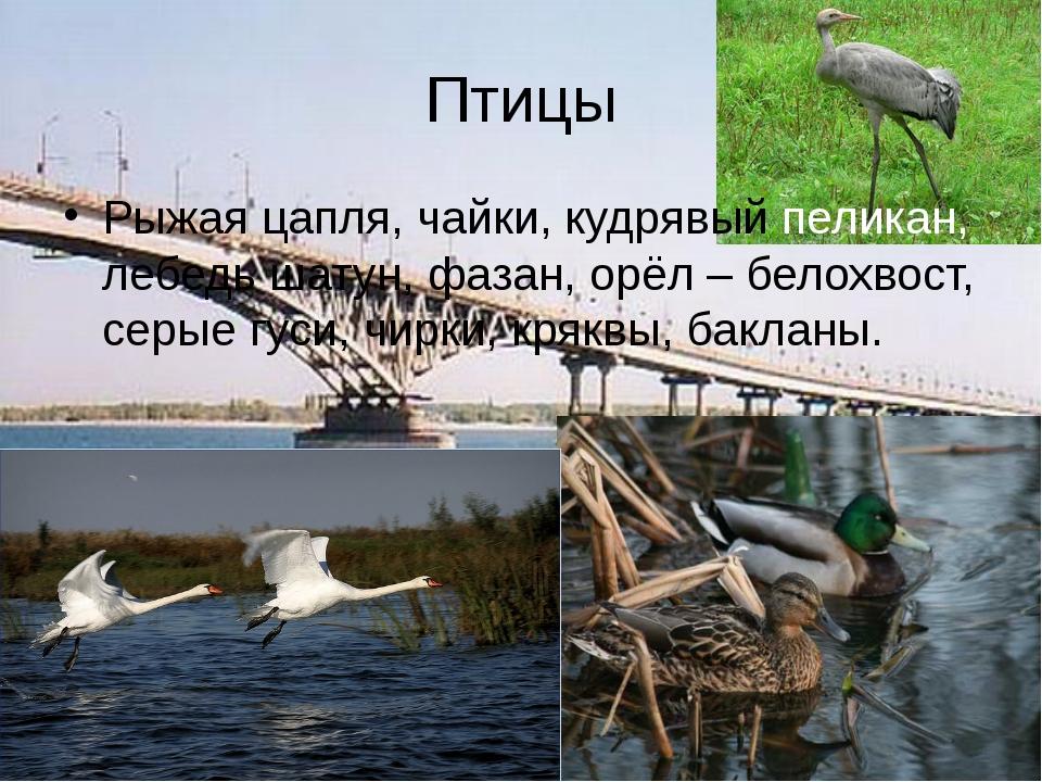 Птицы Рыжая цапля, чайки, кудрявый пеликан, лебедь шатун, фазан, орёл – белох...
