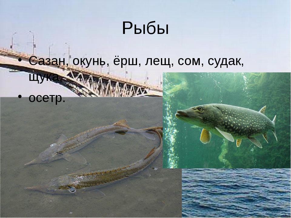 Рыбы Сазан, окунь, ёрш, лещ, сом, судак, щука, осетр.