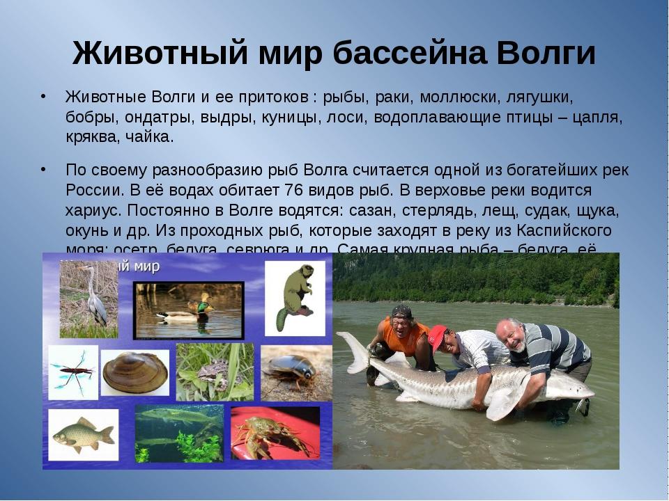 Животный мир бассейна Волги Животные Волги и ее притоков : рыбы, раки, моллюс...