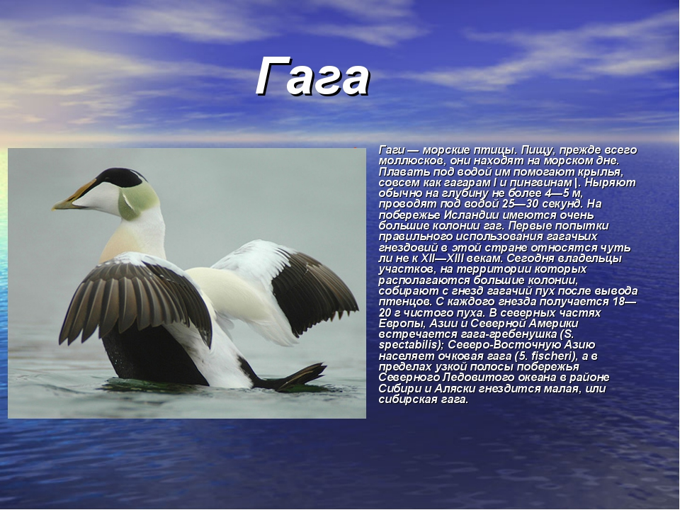 Гага Гаги — морские птицы. Пищу, прежде всего моллюсков, они находят на морс...