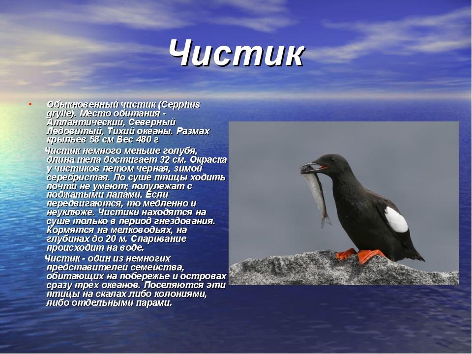 Чистик Обыкновенный чистик (Cepphus grylle). Место обитания - Атлантический,...