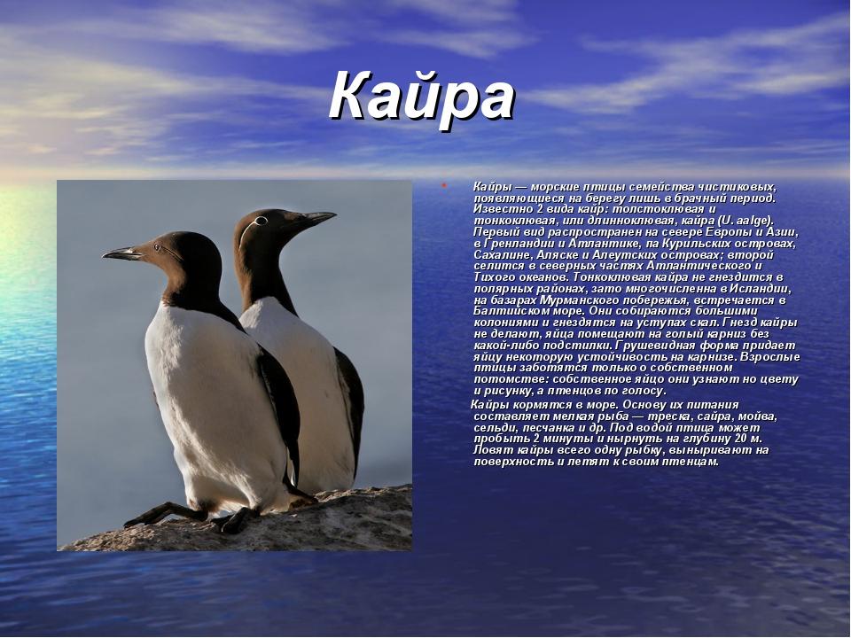 Кайра Кайры — морские птицы семейства чистиковых, появляющиеся на берегу лиш...