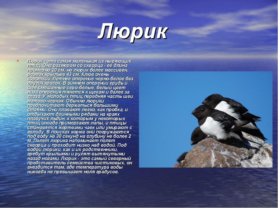 Люрик Люрик - это самая маленькая из ныряющих птиц. Она размером со скворца...