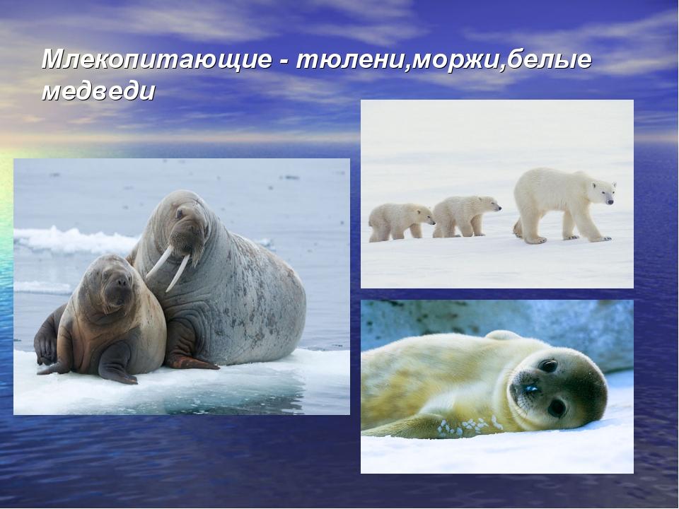 Млекопитающие - тюлени,моржи,белые медведи