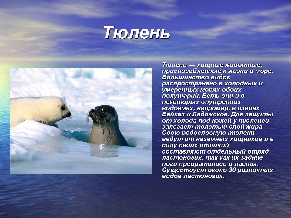 Тюлень Тюлени — хищные животные, приспособленные к жизни в море. Большинство...