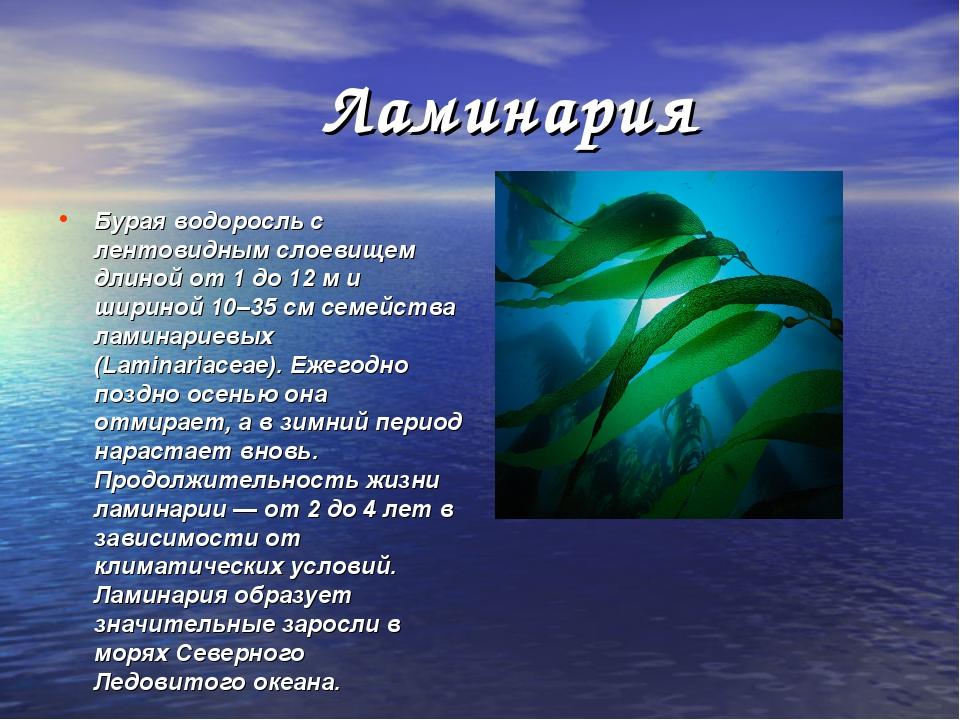 Ламинария Бурая водоросль с лентовидным слоевищем длиной от 1 до 12 м и шири...