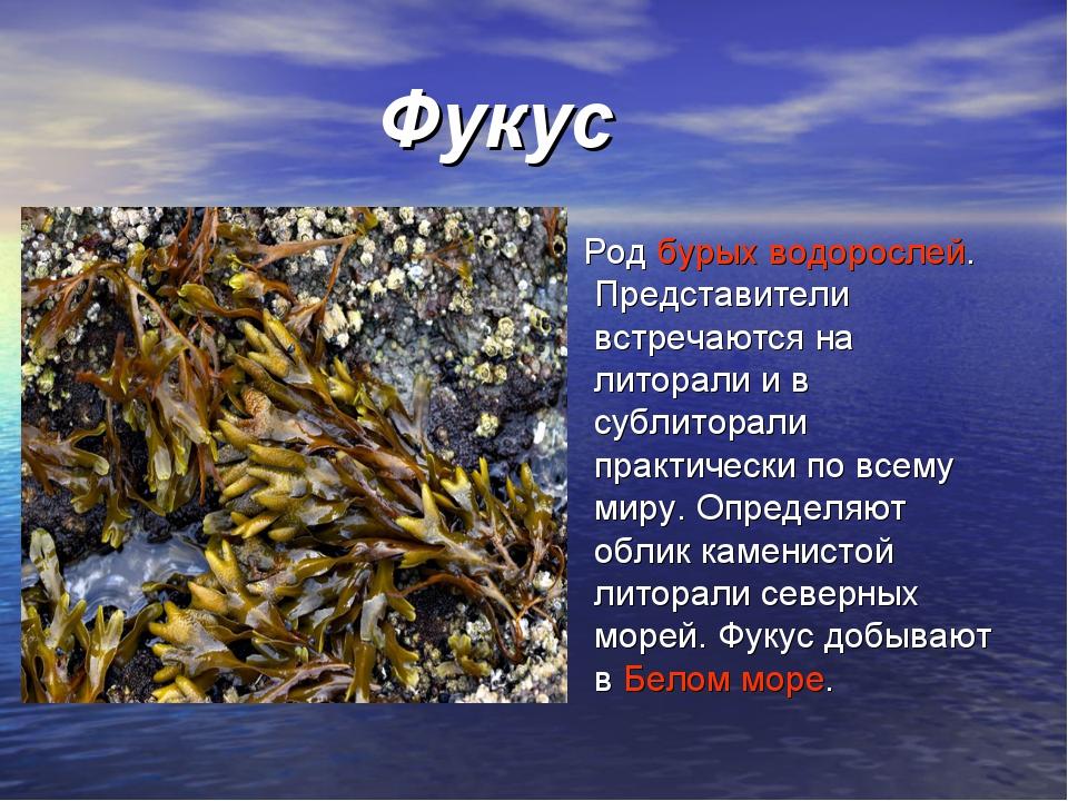 Фукус Родбурых водорослей. Представители встречаются на литорали и в сублит...