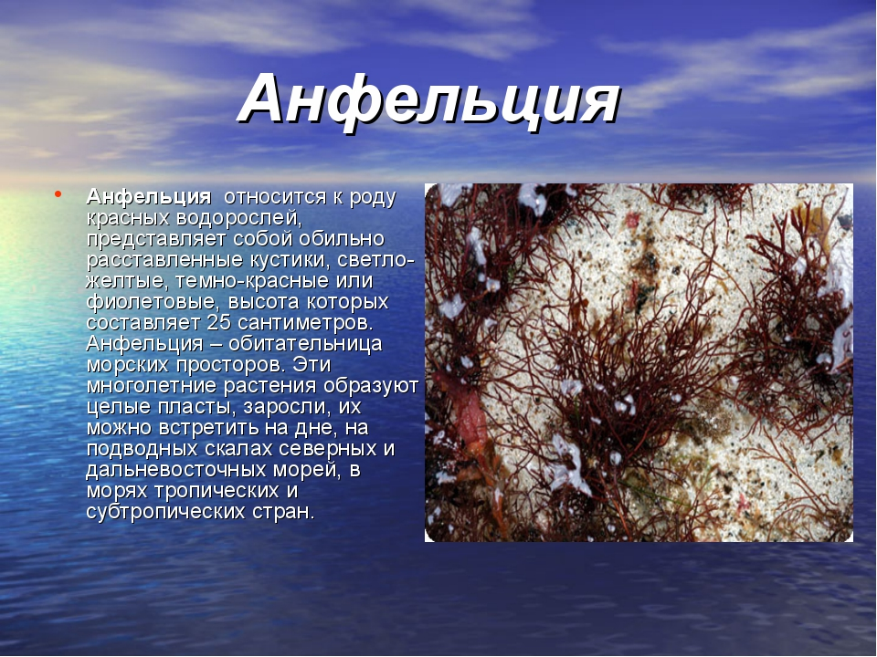 Анфельция Анфельция относится к роду красных водорослей, представляет собой...