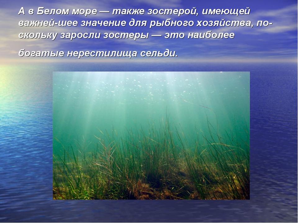 А в Белом море — также зостерой, имеющей важнейшее значение для рыбного хозя...