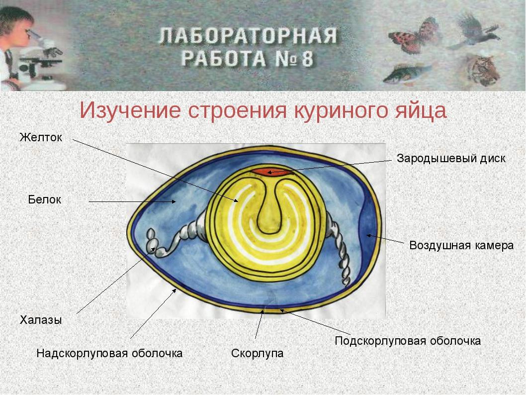 Изучение строения куриного яйца Изучение строения куриного яйца