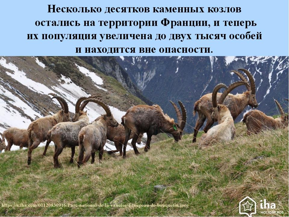 Несколько десятков каменных козлов остались натерритории Франции, итеперь и...
