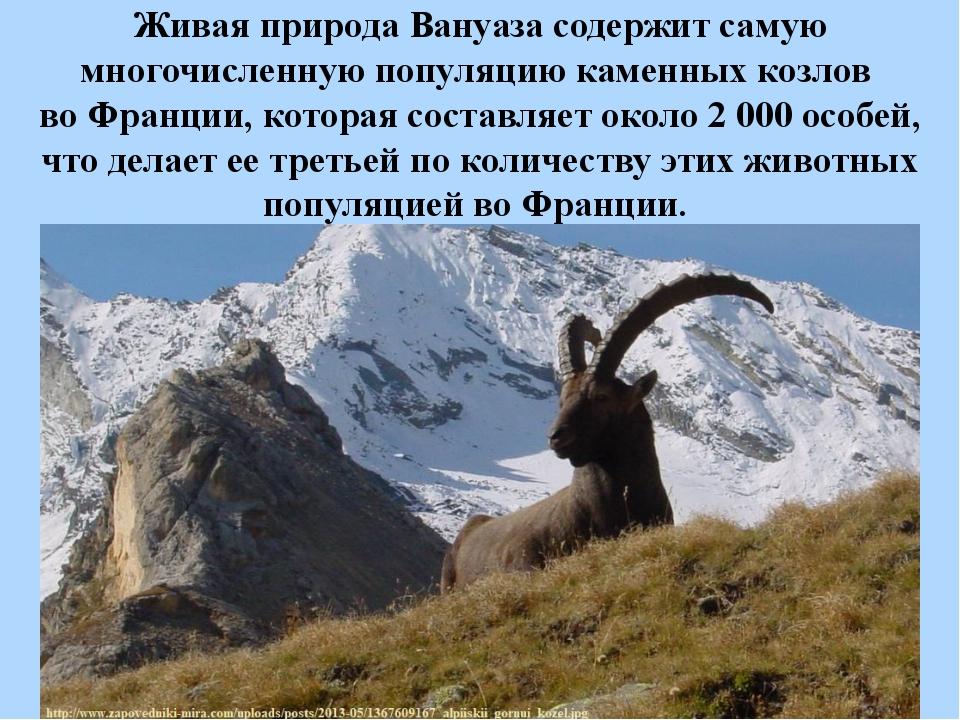 Живая природа Вануаза содержит самую многочисленную популяцию каменных козлов...