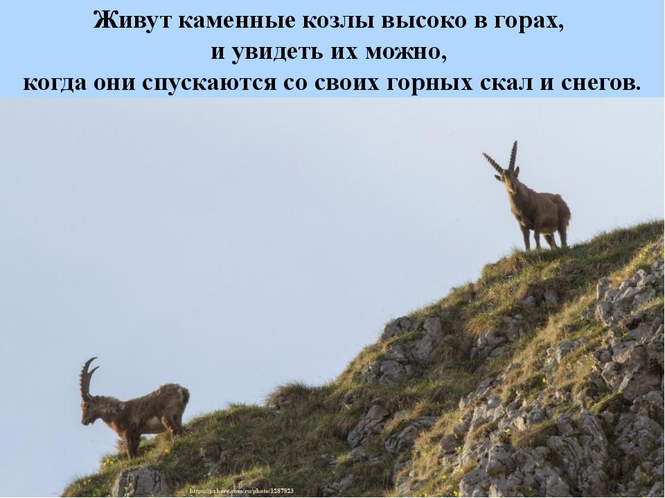 Живут каменные козлы высоко в горах, и увидеть их можно, когда они спускаются...