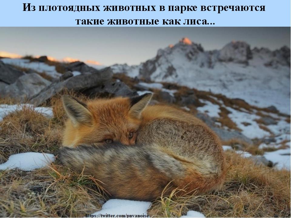 Из плотоядных животных в парке встречаются такие животные как лиса...
