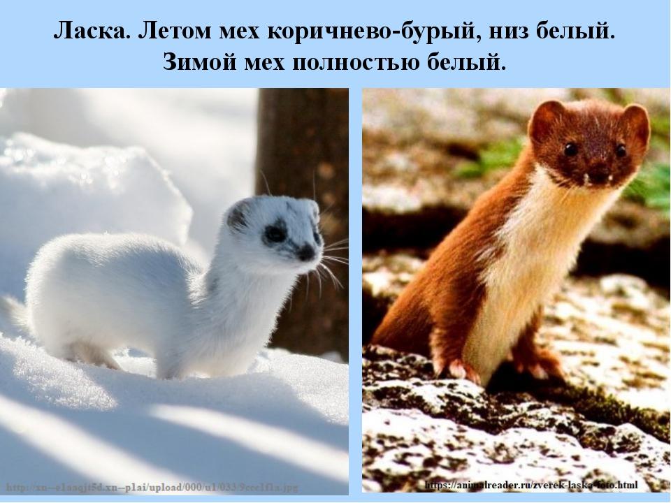 Ласка. Летом мех коричнево-бурый, низ белый. Зимой мех полностью белый.