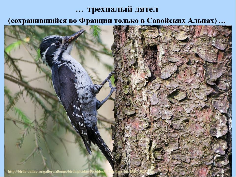 … трехпалый дятел (сохранившийся во Франции только в Савойских Альпах) ...