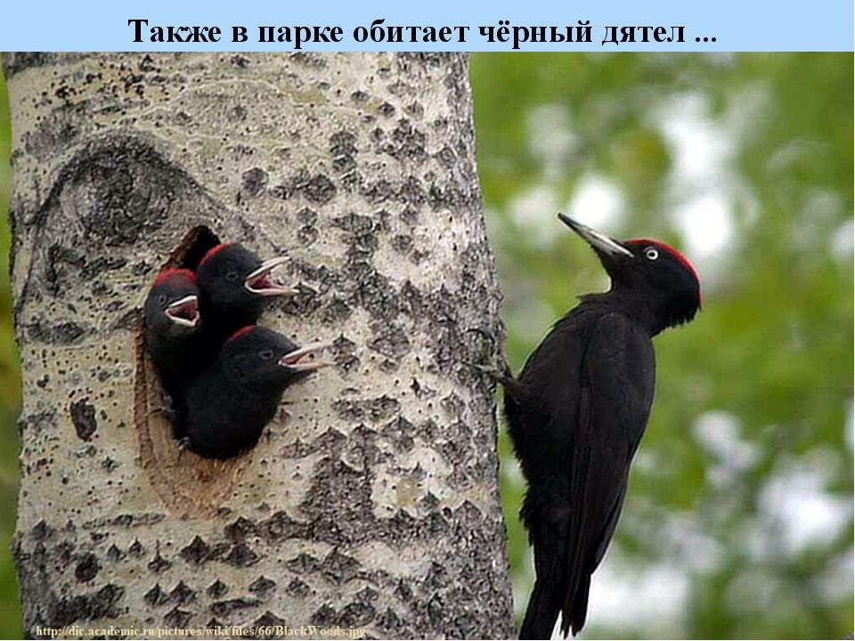 Также в парке обитает чёрный дятел ...