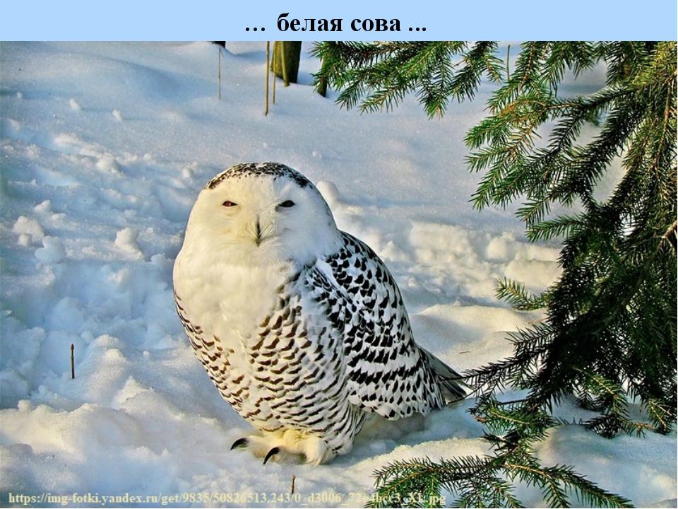 … белая сова ...