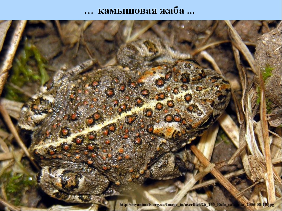 … камышовая жаба ...
