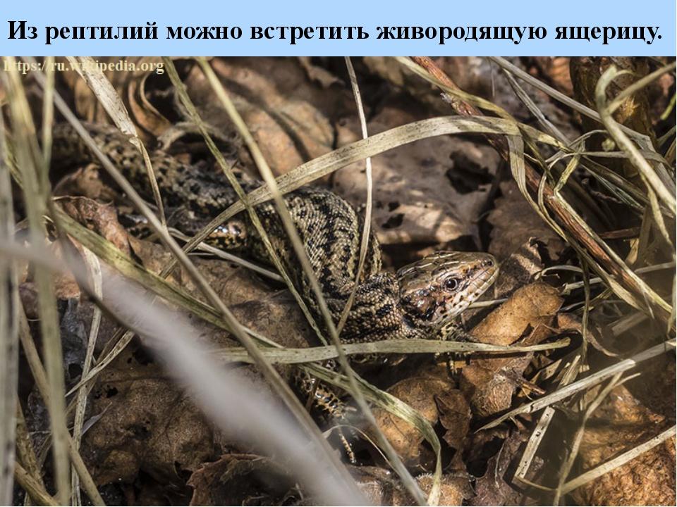 Из рептилий можно встретить живородящую ящерицу.