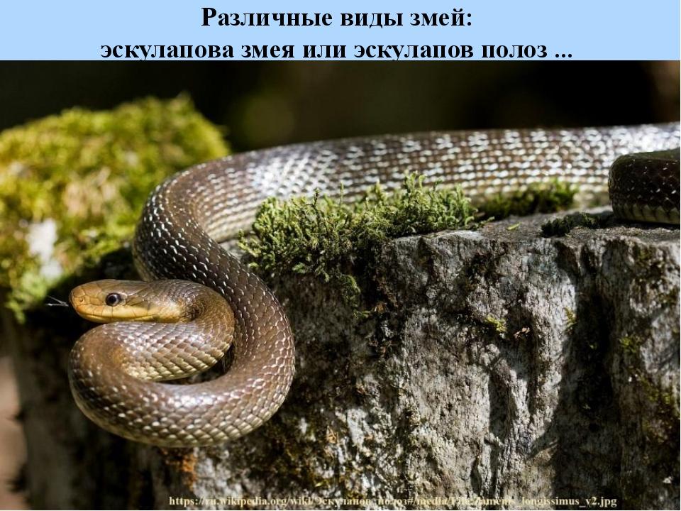 Различные виды змей: эскулапова змея или эскулапов полоз ...
