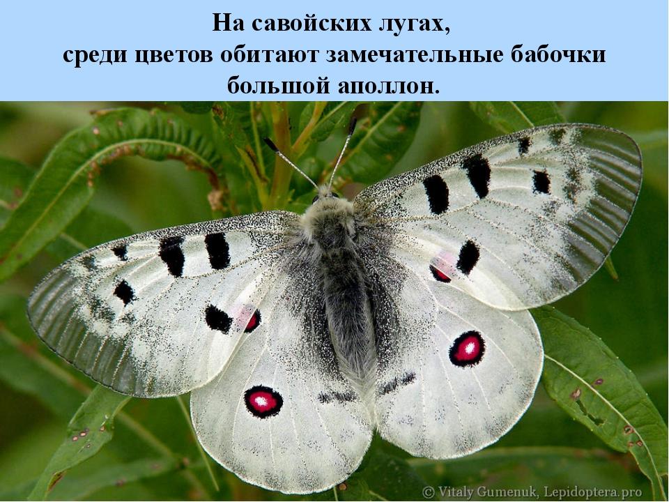 На савойских лугах, среди цветов обитают замечательные бабочки большой аполлон.