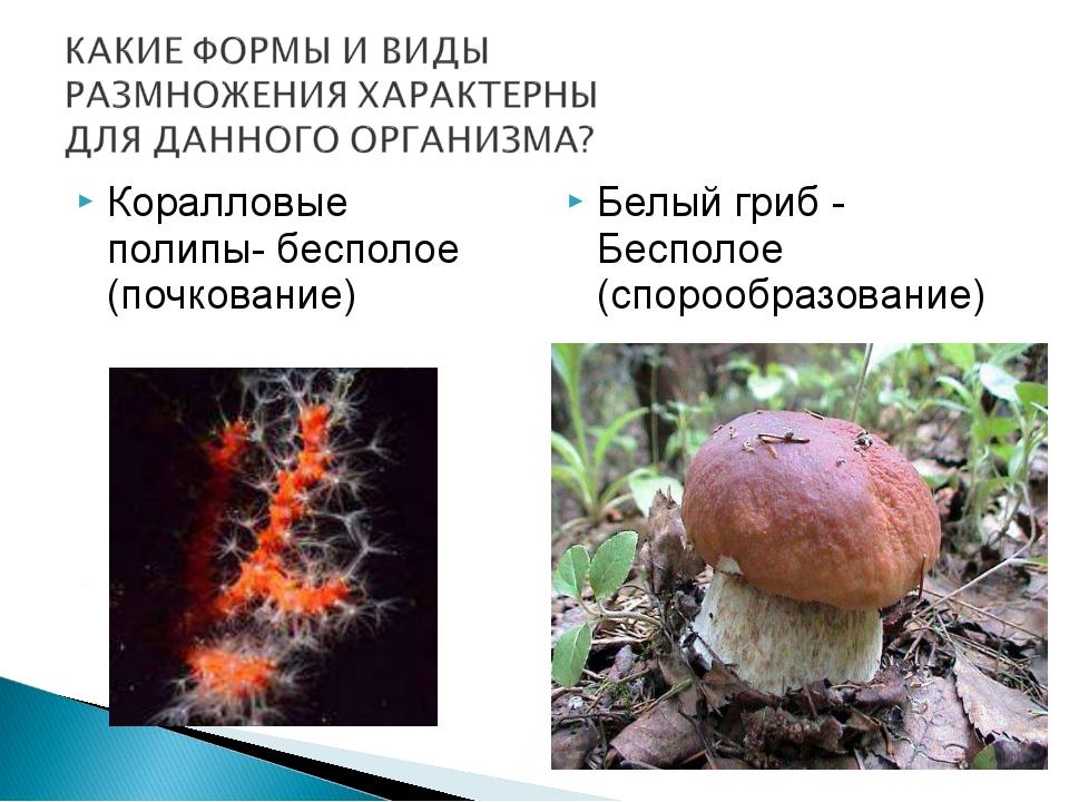 Коралловые полипы- бесполое (почкование) Белый гриб - Бесполое (спорообразова...