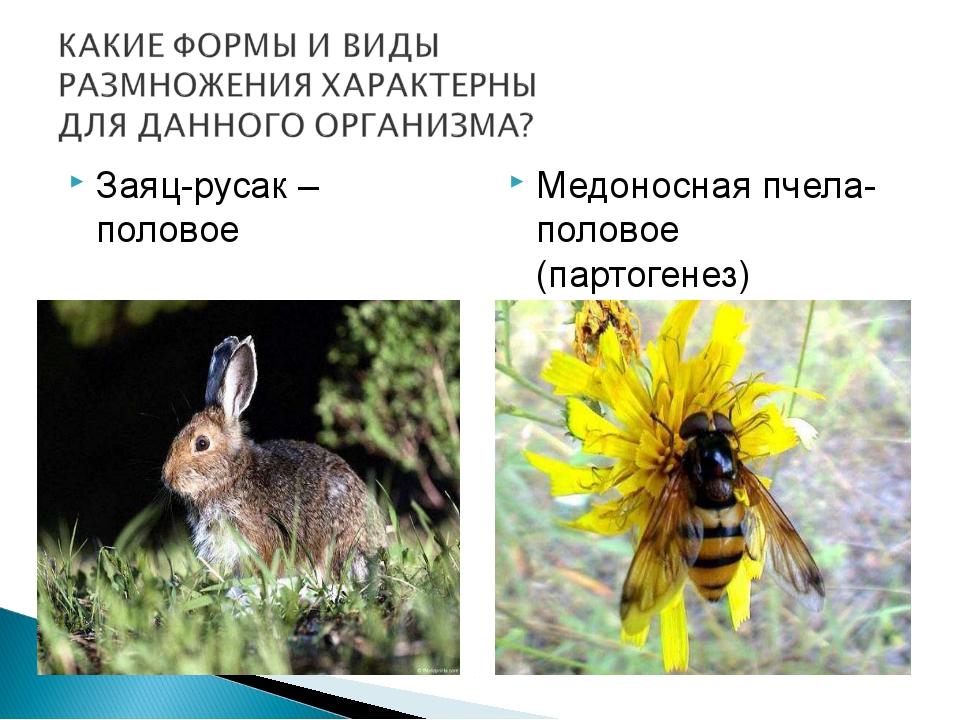 Заяц-русак –половое Медоносная пчела- половое (партогенез)