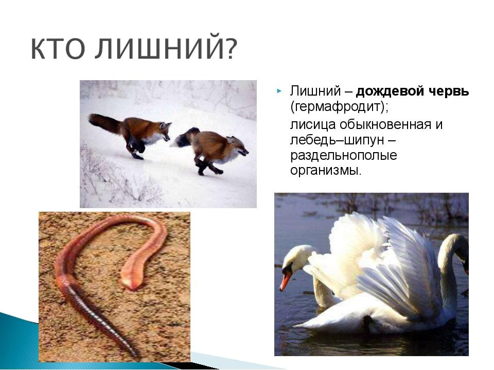 Лишний – дождевой червь (гермафродит); лисица обыкновенная и лебедь–шипун –...