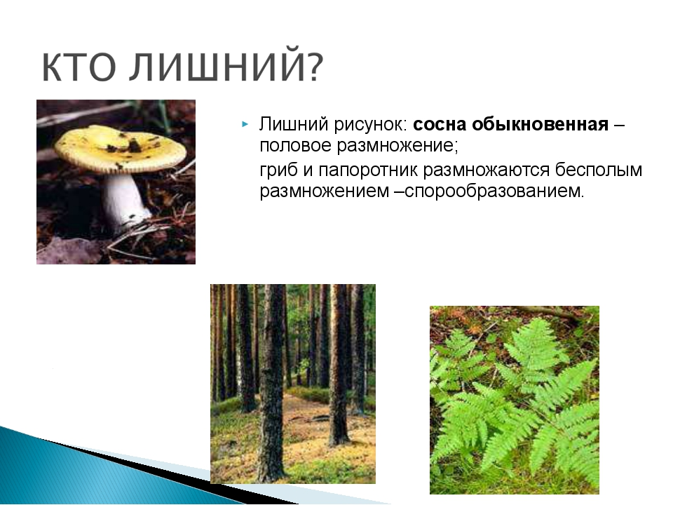 Лишний рисунок: сосна обыкновенная – половое размножение; гриб и папоротник...