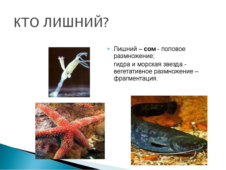 Лишний – сом - половое размножение; гидра и морская звезда - вегетативное ра...