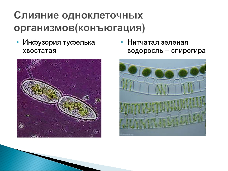 Инфузория туфелька хвостатая Нитчатая зеленая водоросль – спирогира