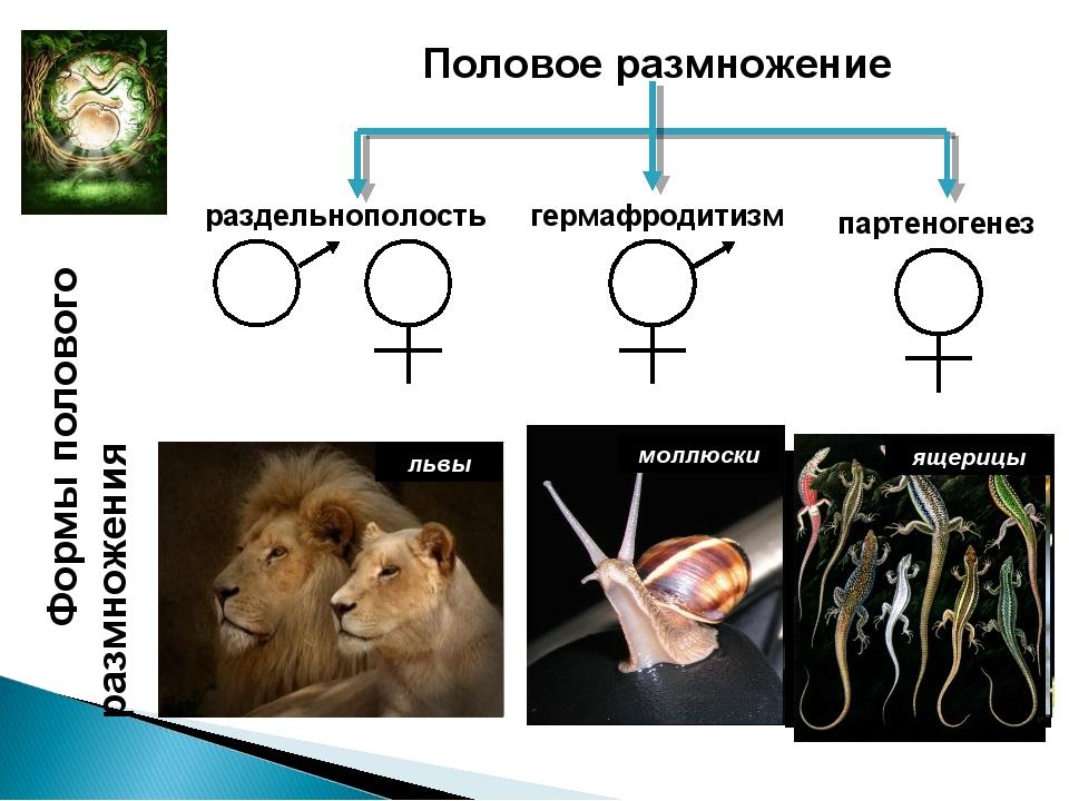 Формы полового размножения жуки-носороги гуппи лебеди львы плоские черви молл...