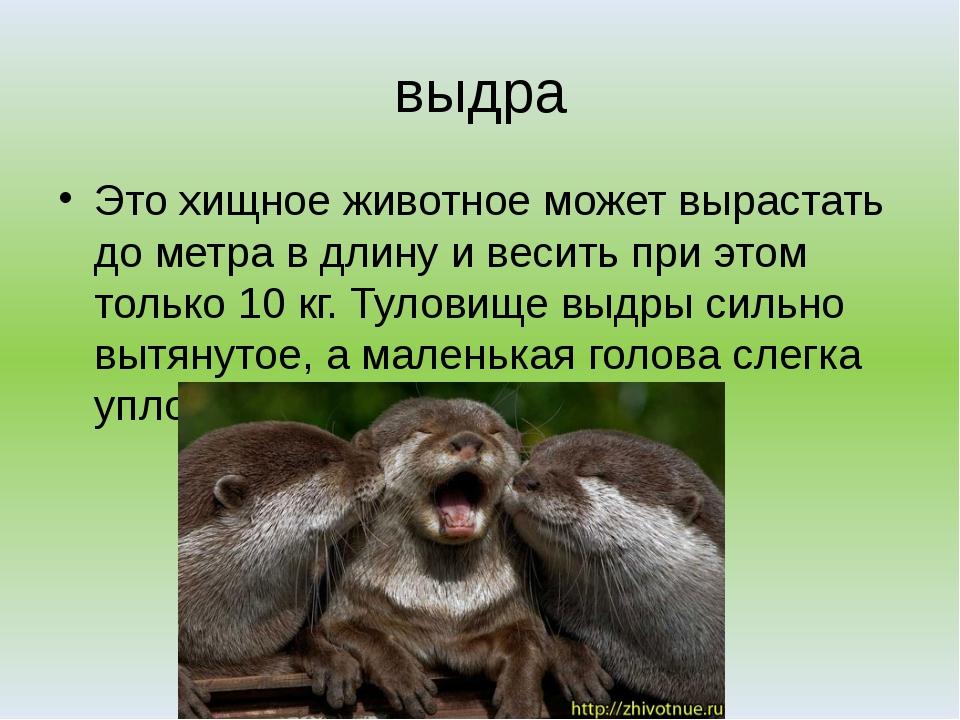выдра Это хищное животное может вырастать до метра в длину и весить при этом...