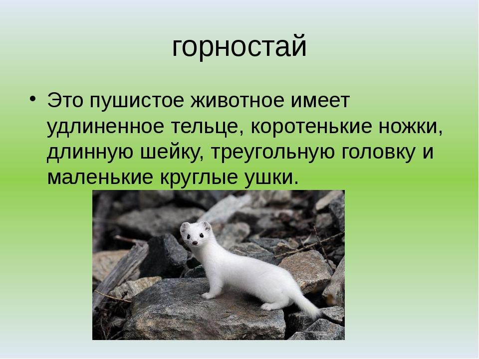 горностай Это пушистое животное имеет удлиненное тельце, коротенькие ножки, д...