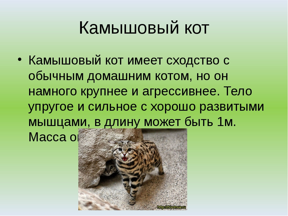Камышовый кот Камышовый кот имеет сходство с обычным домашним котом, но он на...