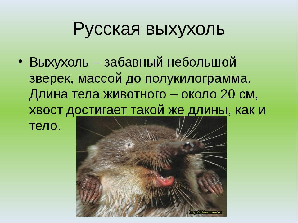 Русская выхухоль Выхухоль – забавный небольшой зверек, массой до полукилограм...