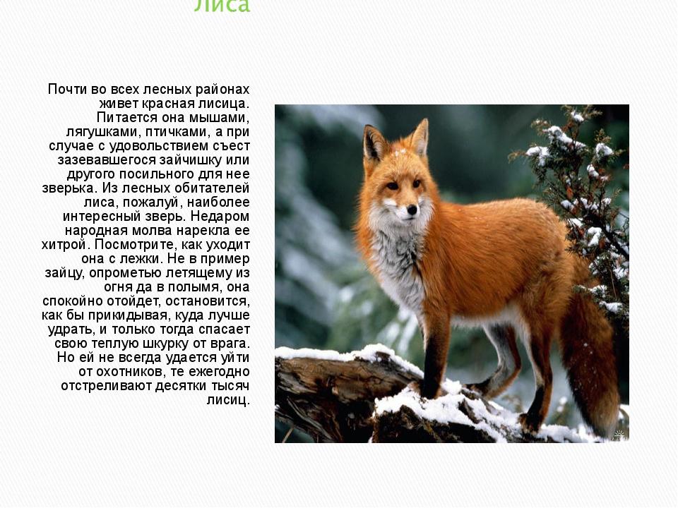 Почти во всех лесных районах живет красная лисица. Питается она мышами, лягуш...