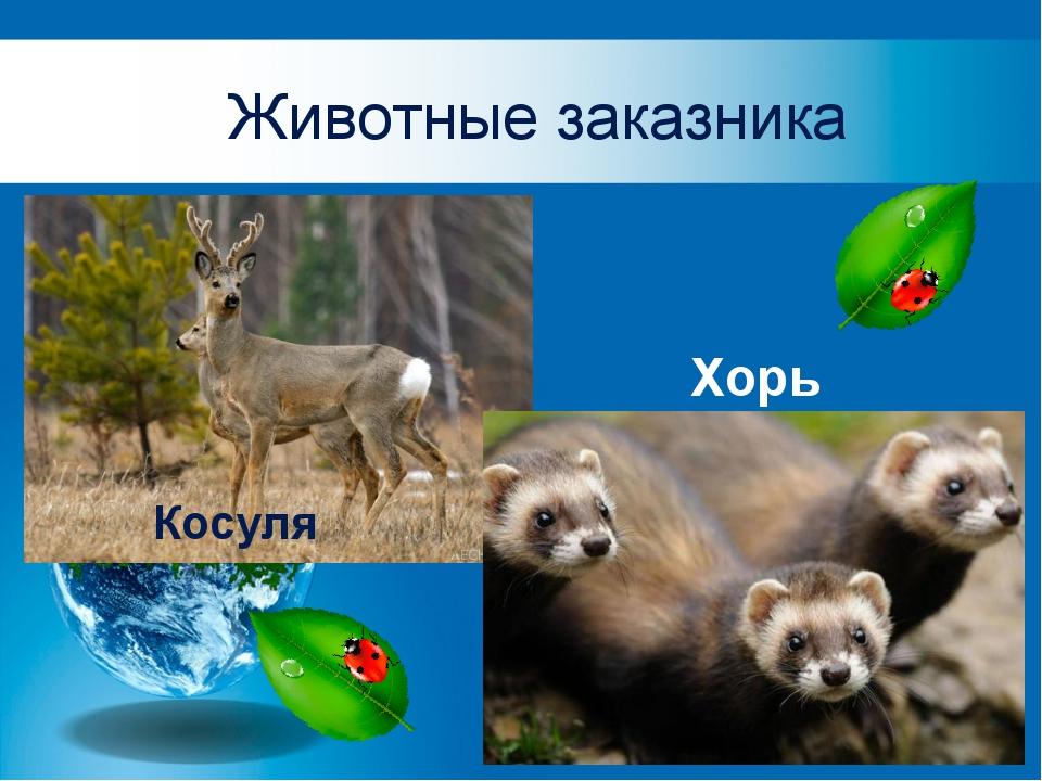 Животные заказника Косуля Хорь