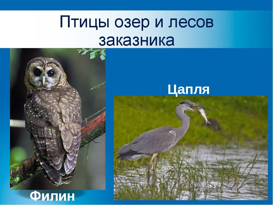 Птицы озер и лесов заказника Филин Цапля