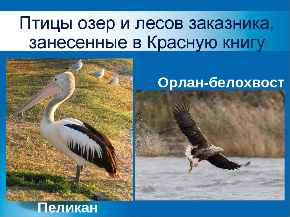 Птицы озер и лесов заказника, занесенные в Красную книгу Пеликан Орлан-белохв...
