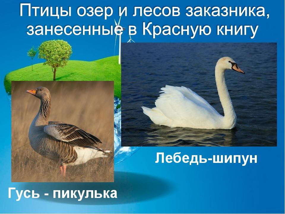 Лебедь-шипун Гусь - пикулька