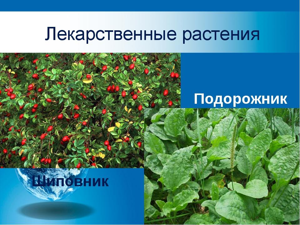 Лекарственные растения Подорожник Шиповник