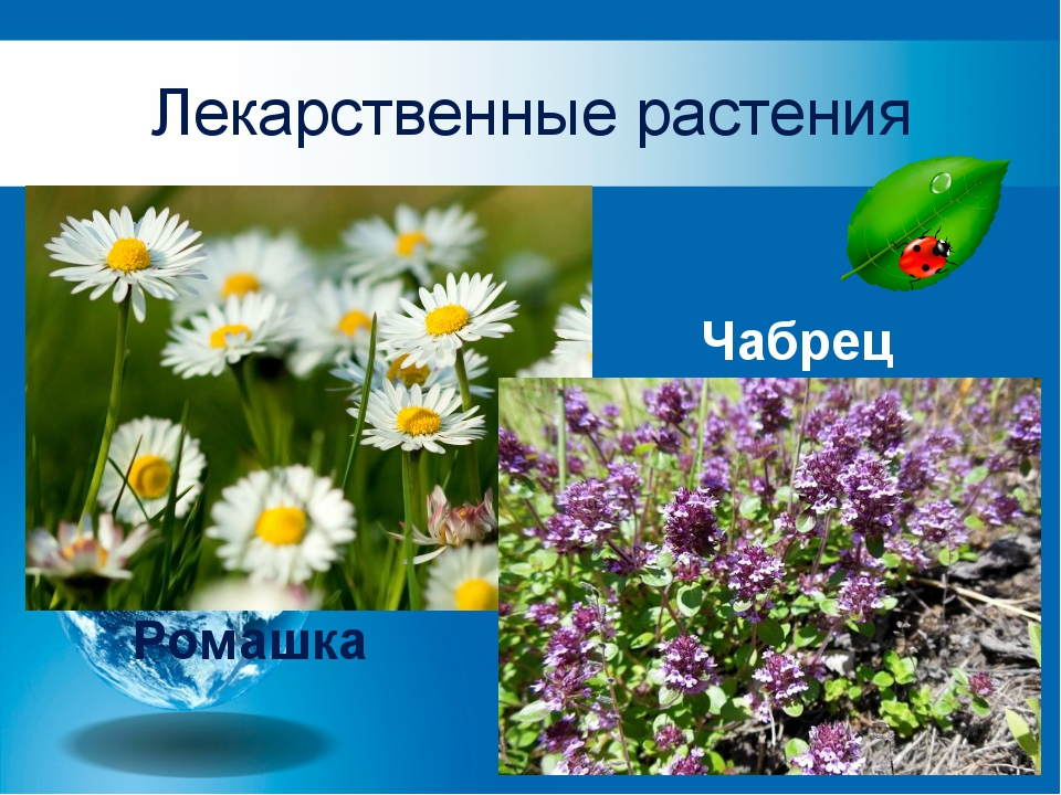 Лекарственные растения Ромашка Чабрец