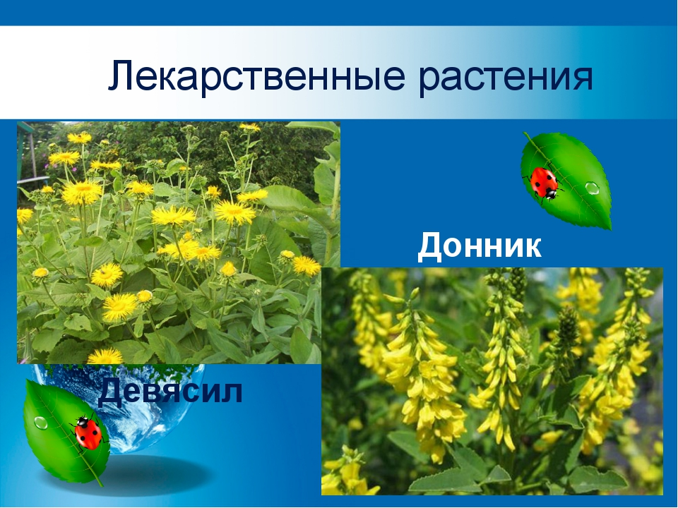 Лекарственные растения Донник Девясил