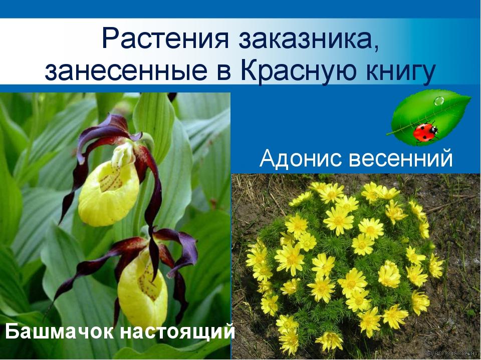 Растения заказника, занесенные в Красную книгу Лилия Башмачок настоящий Адони...