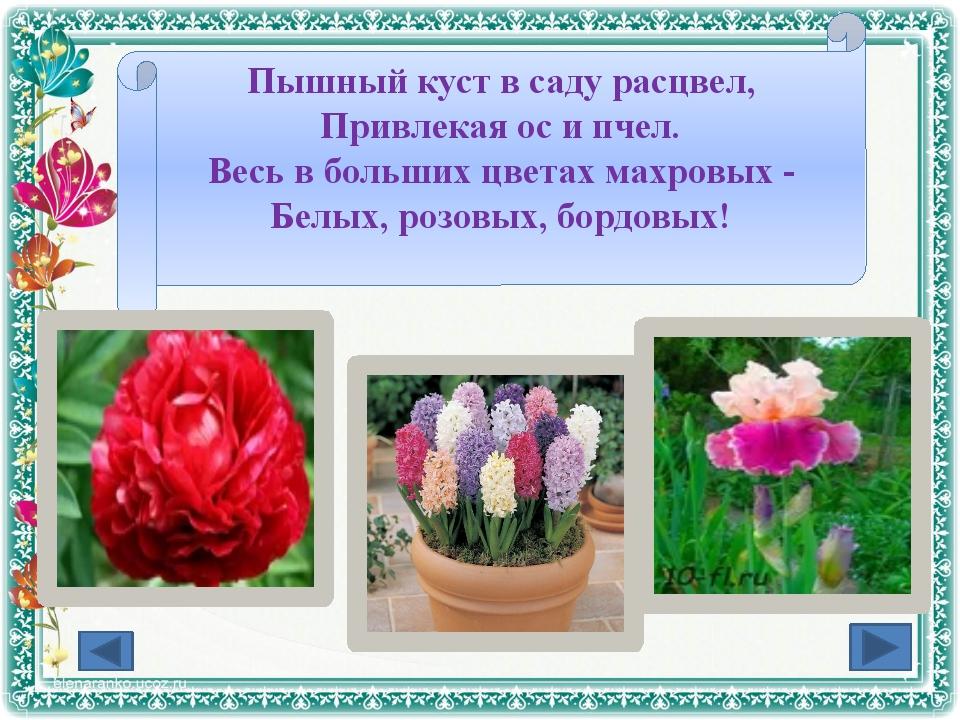 Пышный куст в саду расцвел, Привлекая ос и пчел. Весь в больших цветах махров...