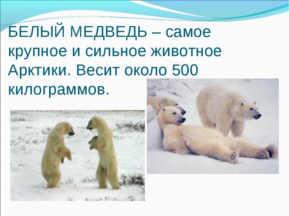 БЕЛЫЙ МЕДВЕДЬ – самое крупное и сильное животное Арктики. Весит около 500 кил...
